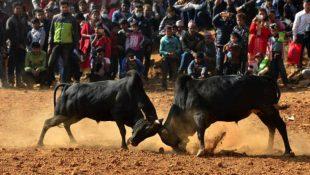 nuwakot bull fight nepal
