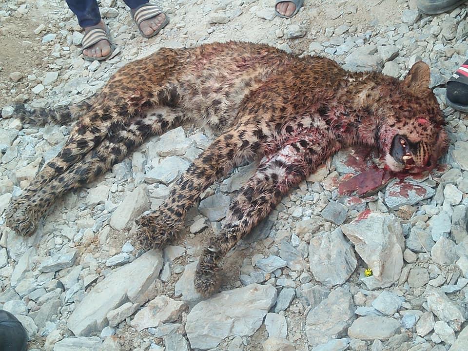 tiger killed paanchkhaal